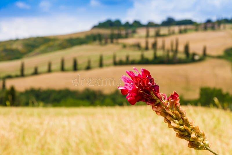红色花和弯曲道路在克利特senesi托斯卡纳,意大利 免版税图库摄影