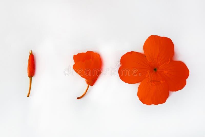 红色花和芽的安排在白色被隔绝的背景 r r 图库摄影
