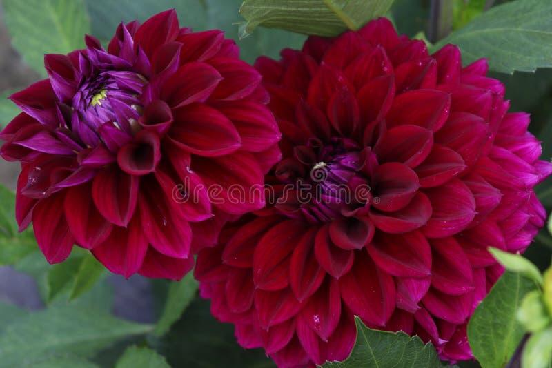 红色花在一个庭院里在德国 免版税库存照片