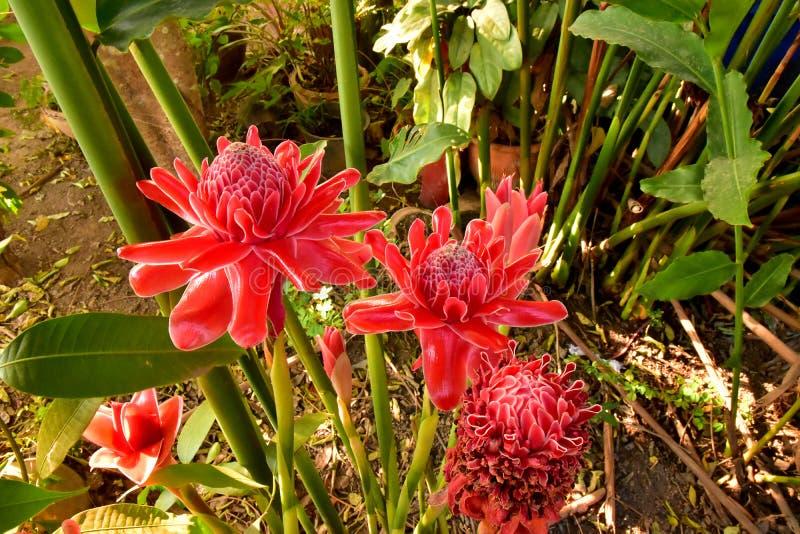 红色花在庭院里火炬点燃姜Etlingera elatior 免版税图库摄影