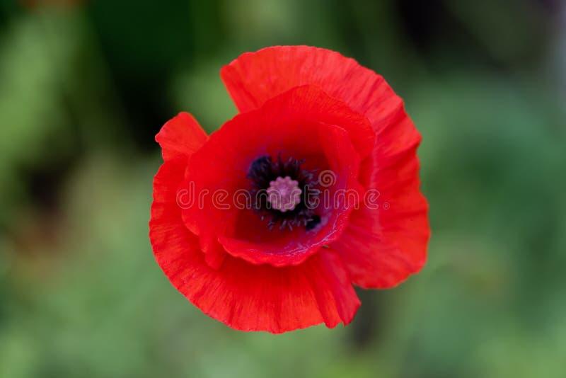 红色花宏观射击以草为背景的在软的焦点 免版税库存照片