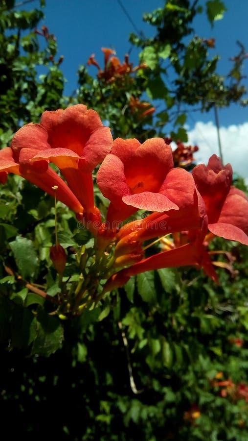 红色花开花的特写镜头以绿叶和天空蔚蓝为背景的 库存照片