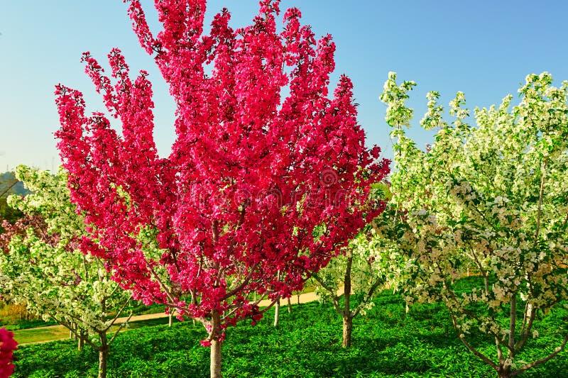红色花树 库存图片