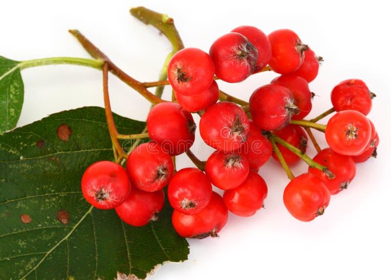 红色花楸浆果和叶子 库存照片