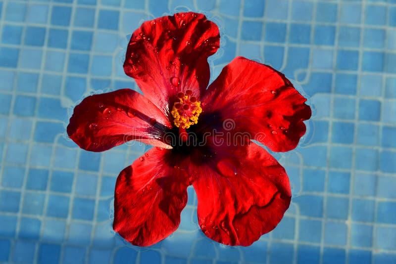 红色花汉语上升了 库存照片