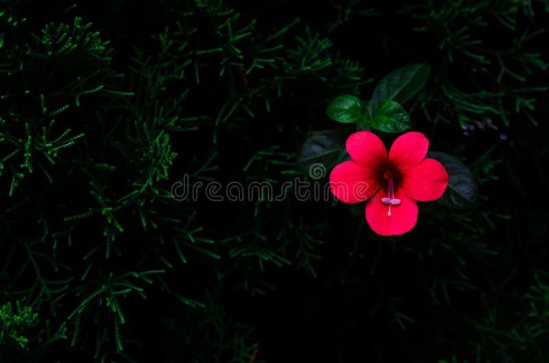 红色花珊瑚爬行物Barleria repens长大在与空间的深绿背景隔绝的松树为 图库摄影