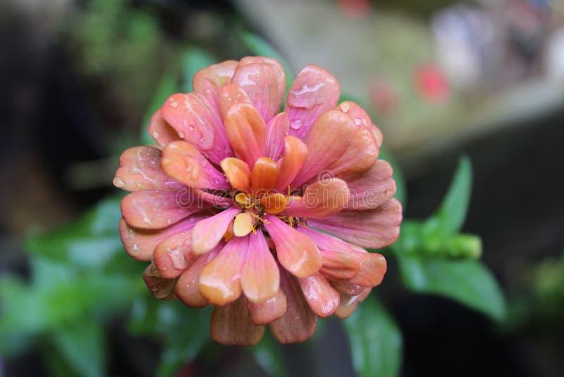 红色花的秀丽早晨 库存图片