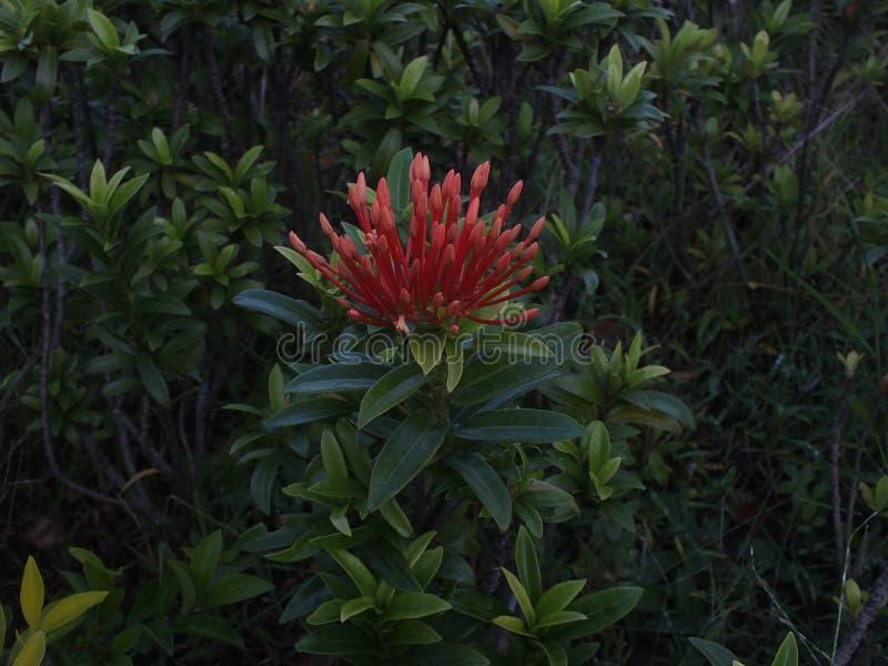 红色花,中爪哇省印度尼西亚 库存照片