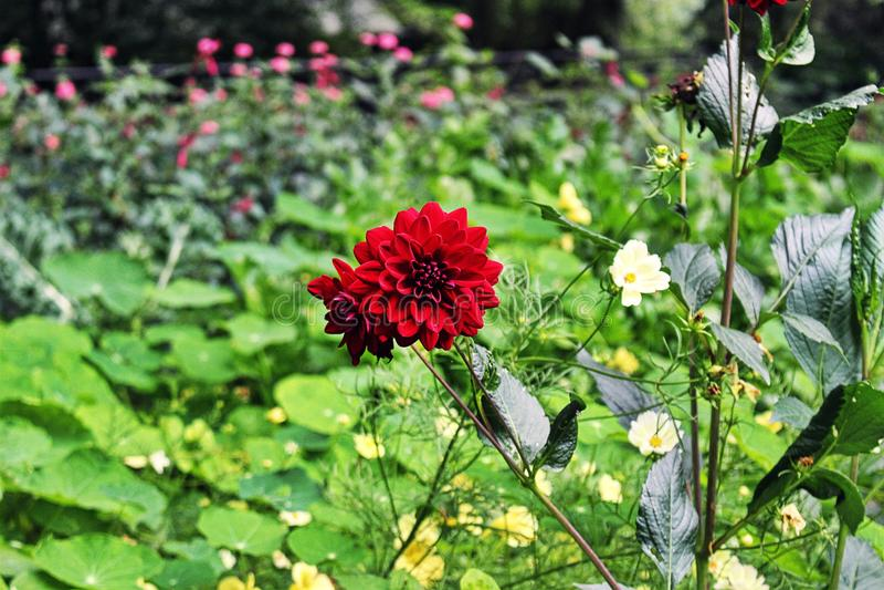 红色花,阿姆斯特丹 免版税图库摄影