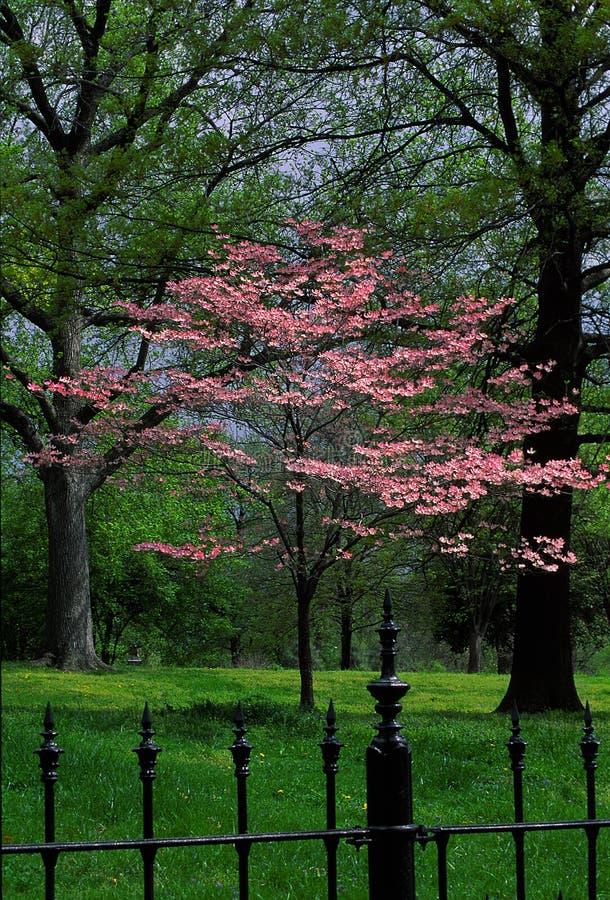 红色芽在公园 免版税库存图片