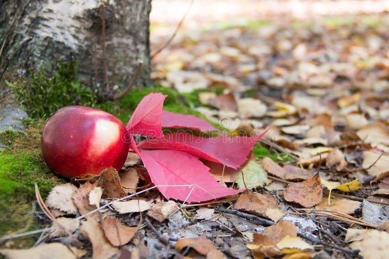 红色苹果和一片红色叶子在一棵树下在青苔和老叶子 库存图片