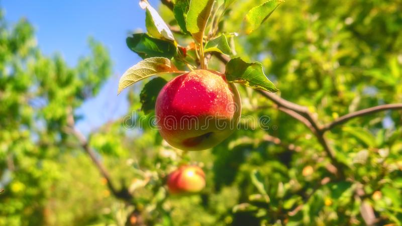 红色苹果在一棵树增长在庭院里 免版税库存图片