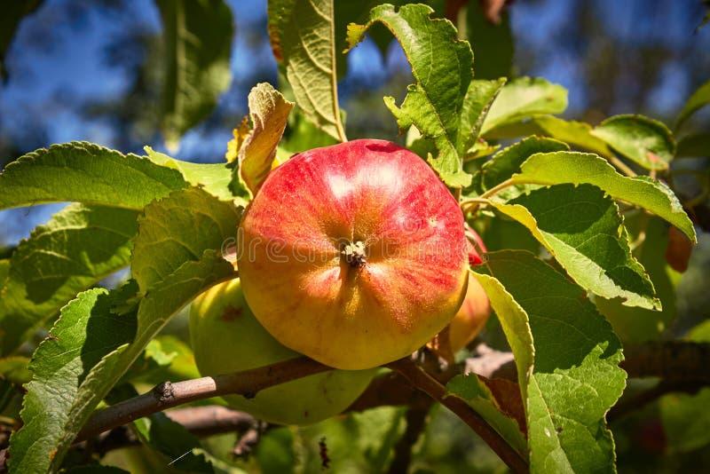 红色苹果在庭院里 免版税库存图片