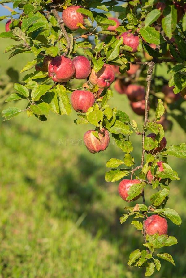 红色苹果在秋天 免版税图库摄影