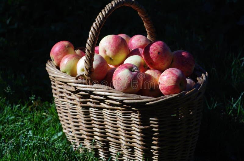 红色苹果篮子在庭院,秋天里 库存照片