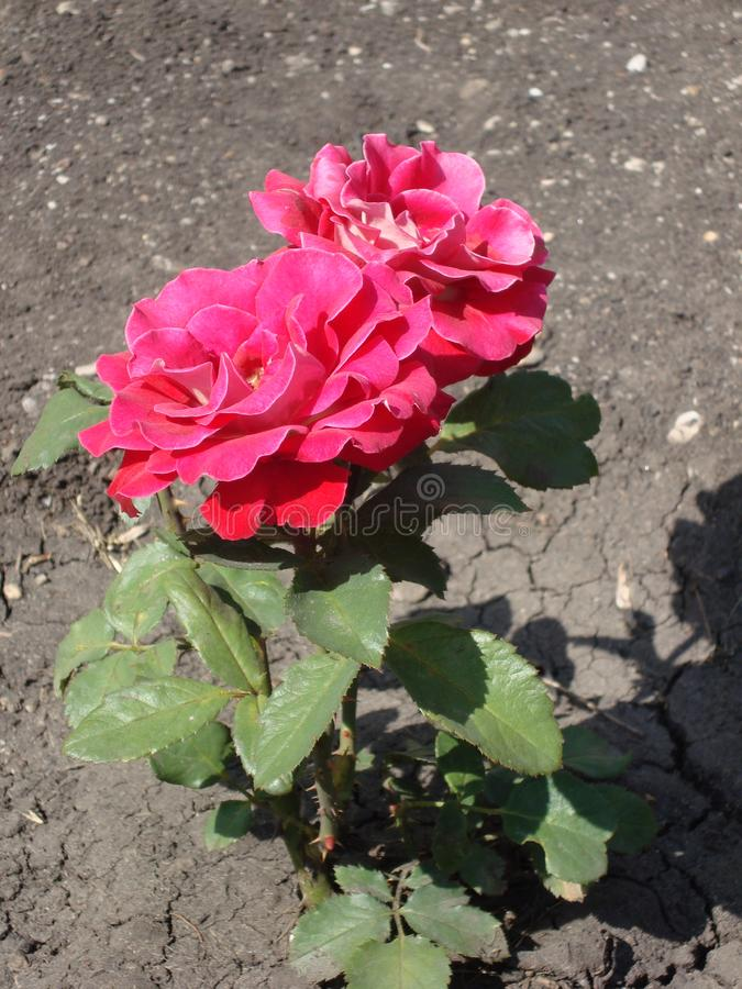 红色茶花在夏天庭院里上升了 图库摄影