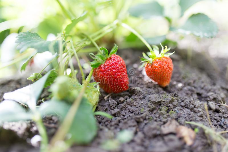 红色草莓在庭院里 免版税库存图片
