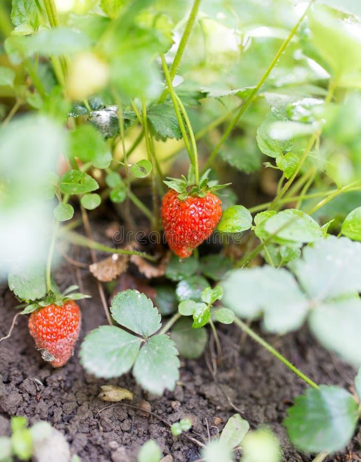 红色草莓在庭院里 库存图片