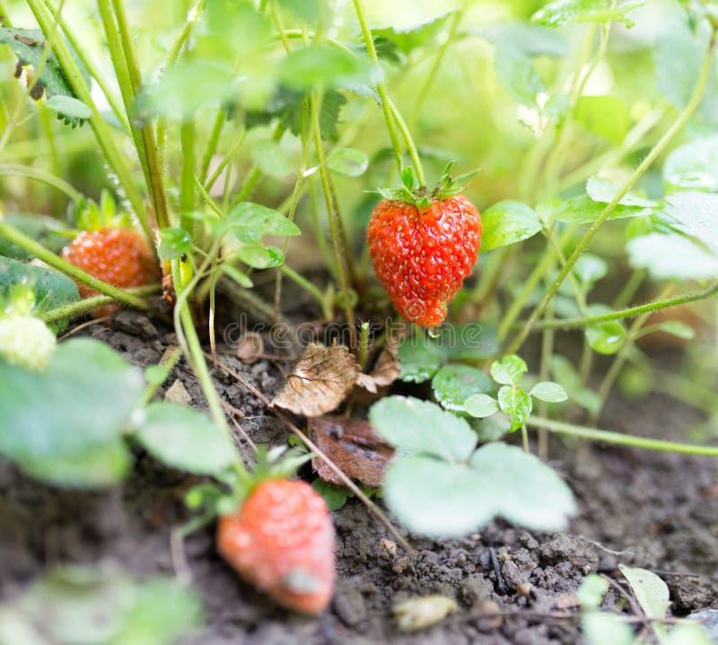 红色草莓在庭院里 免版税库存照片