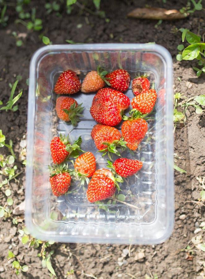 红色草莓在庭院里 免版税图库摄影