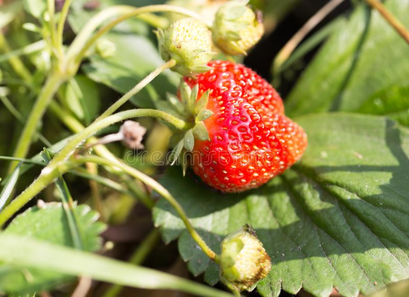 红色草莓在自然的庭院里 图库摄影