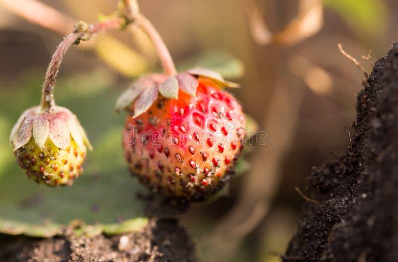 红色草莓在自然的庭院里 免版税库存图片