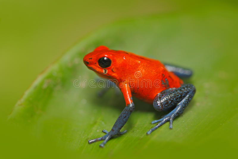 红色草莓毒物箭青蛙, Dendrobates pumilio,在自然栖所,哥斯达黎加 毒物红色青蛙特写镜头画象  为 库存照片