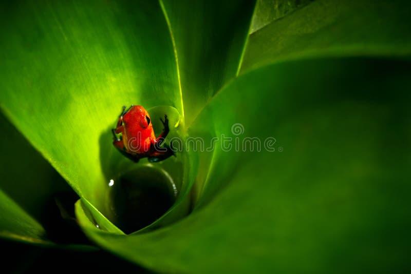 红色草莓毒物箭青蛙, Dendrobates pumilio,在bro 免版税库存图片