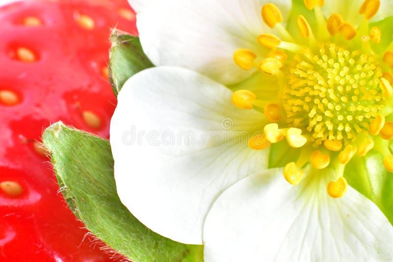 红色草莓花  免版税库存照片