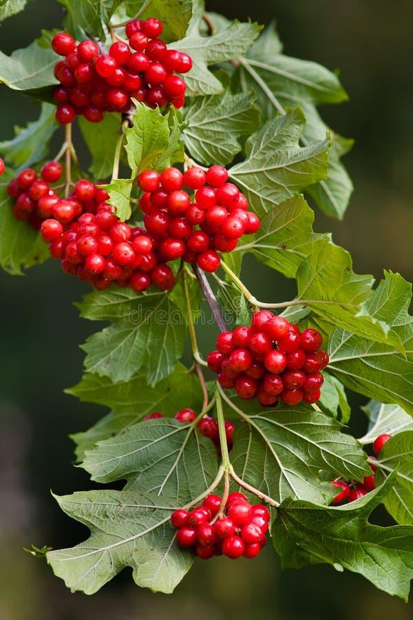红色荚莲属的植物莓果分支  免版税库存图片