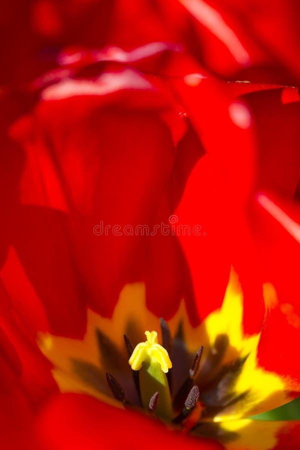 红色荷兰郁金香宏观射击反对被弄脏的背景的 库存照片