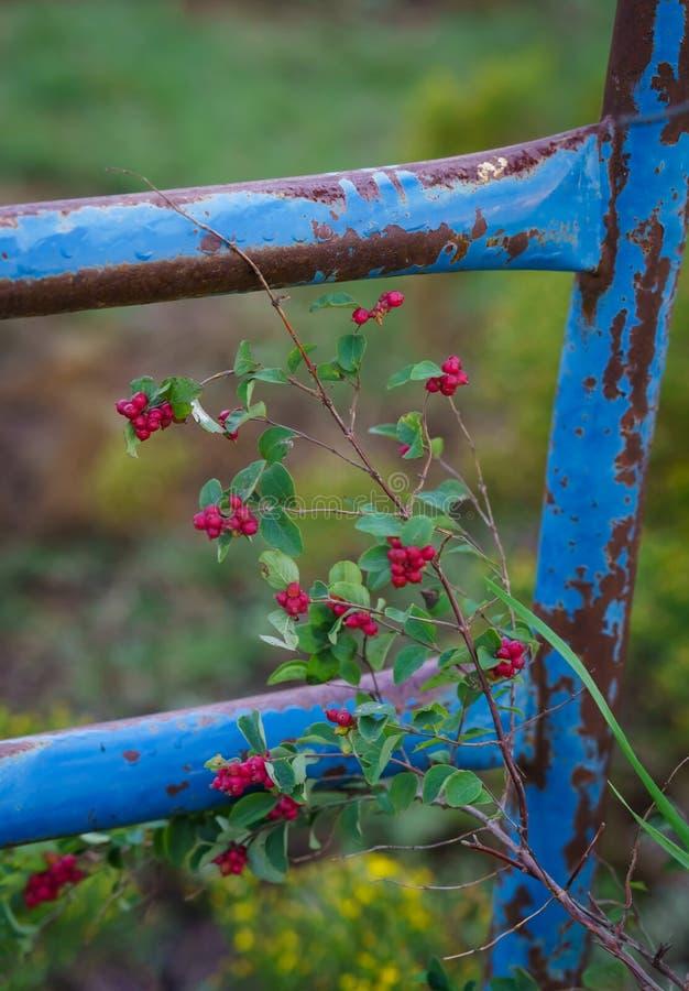 红色莓果和一个生锈的蓝色门 库存照片