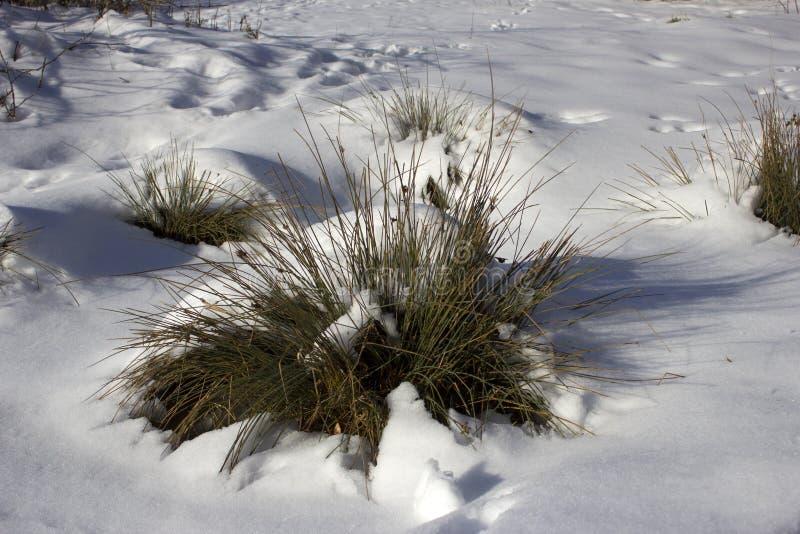 红色莓果和草在反对雪盖背景的冬天在一个多雪的冬天在森林里 库存图片