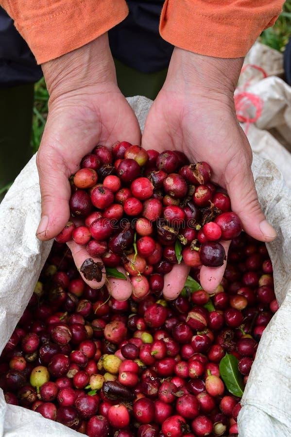 红色莓果咖啡 免版税库存照片