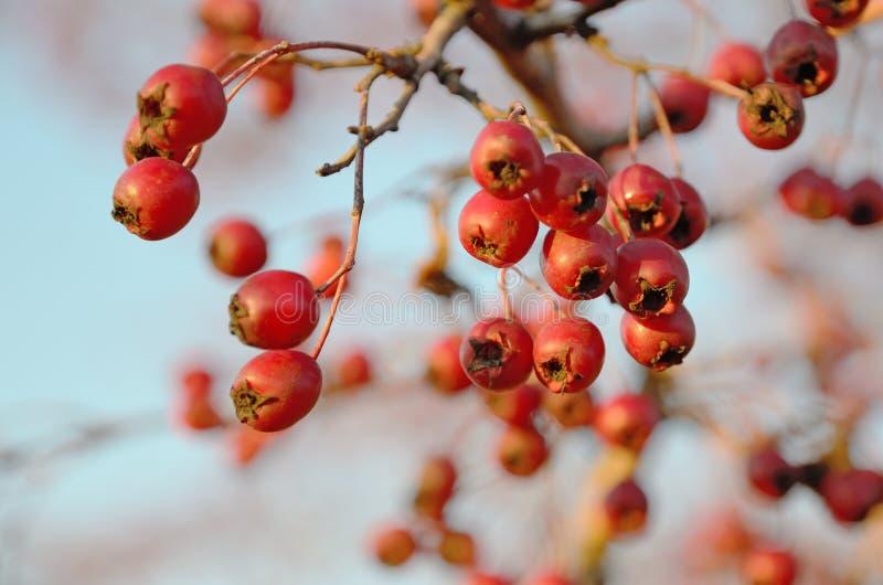红色莓果山楂树在户外晴朗的秋天 免版税库存照片