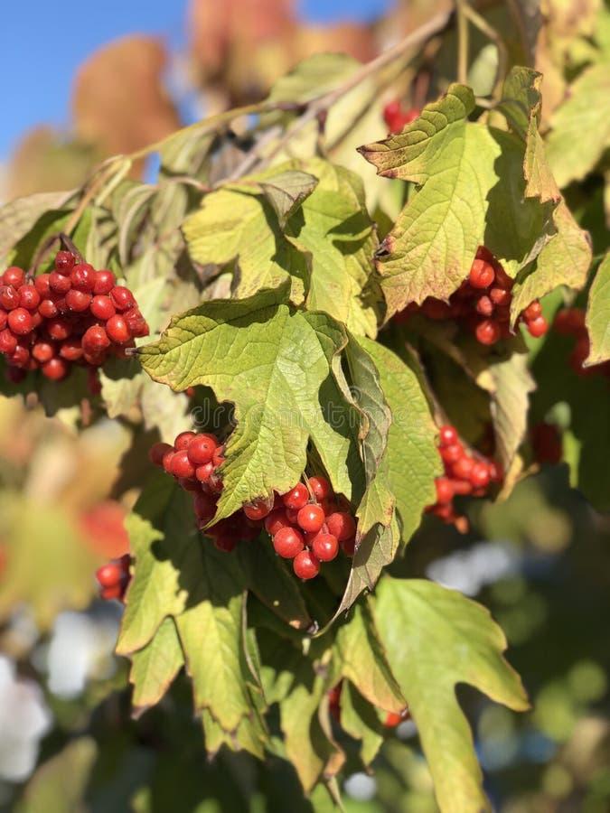 红色莓果特写镜头在分支的 图库摄影