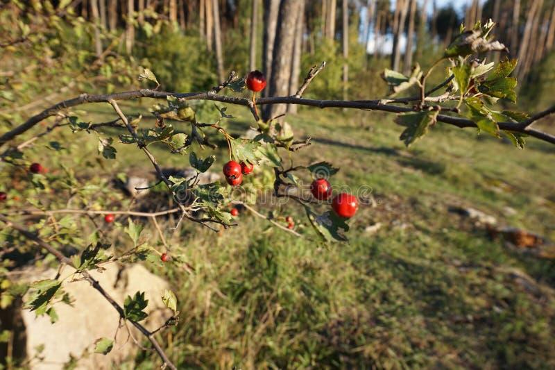 红色莓果狂放在森林里上升了 免版税库存图片