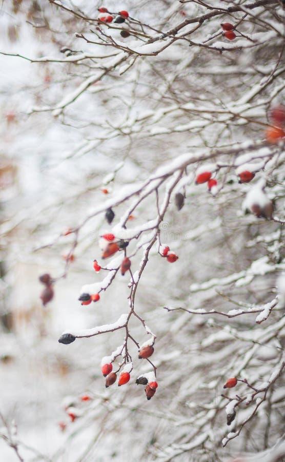 红色莓果,与的冬天自然降雪 免版税库存照片