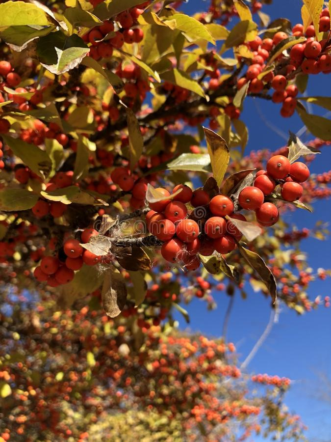 红色莓果/种子在树 秋天颜色变动 免版税库存照片