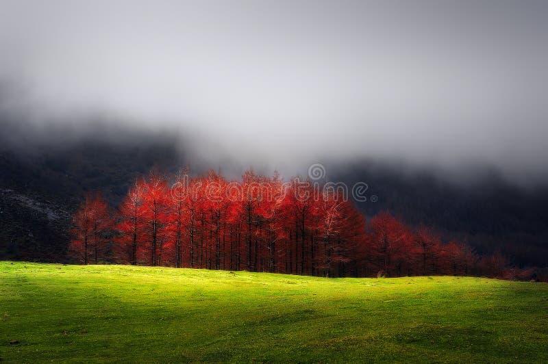 红色落叶松属在有雾的山的秋天 库存图片