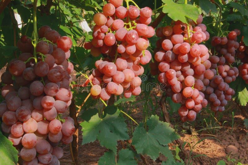 红色葡萄的种植园 图库摄影