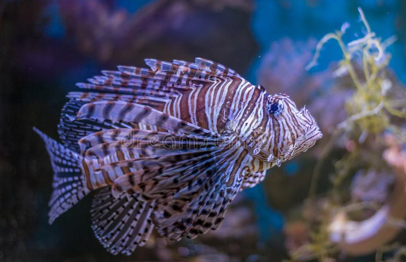 红色蓑鱼或Pterois volitans 在深海水生水水族馆的美丽的狮子鱼有珊瑚礁的 库存图片