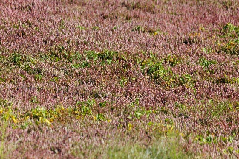 红色蔓越桔植物 库存图片