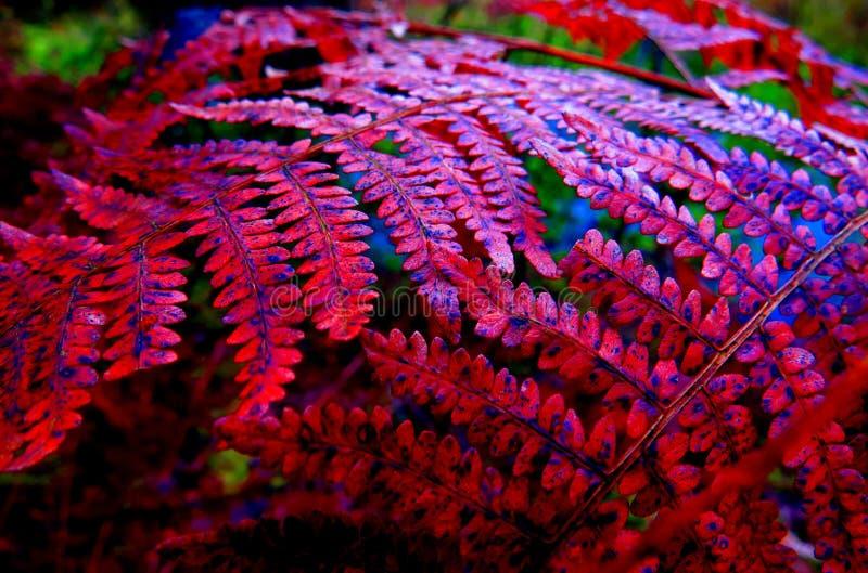 红色蕨在秋天 免版税图库摄影