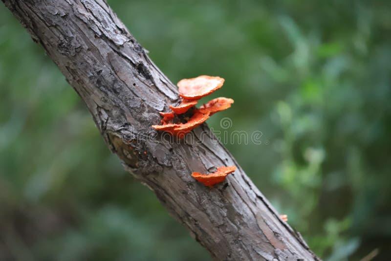 红色蘑菇在新的渤海零件沼泽地 免版税库存图片