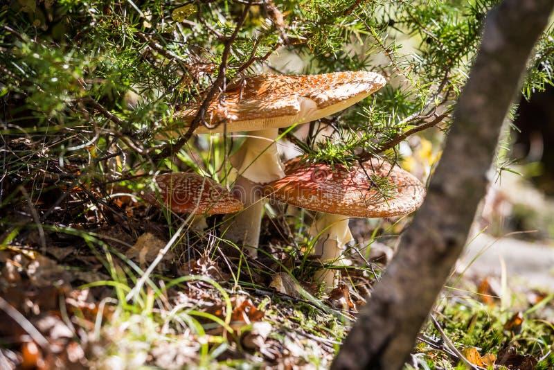 红色蘑菇真菌 图库摄影