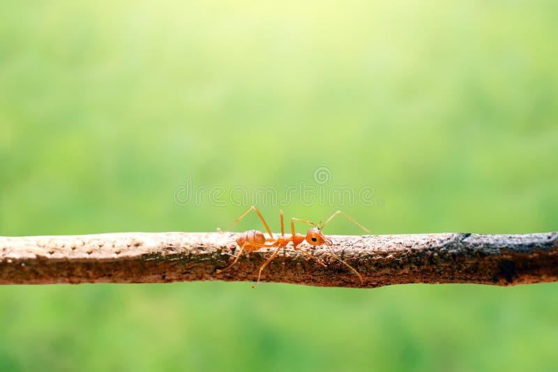 红色蚂蚁、唯一红色蚂蚁在树枝和背景弄脏了bokeh绿色自然 免版税库存照片