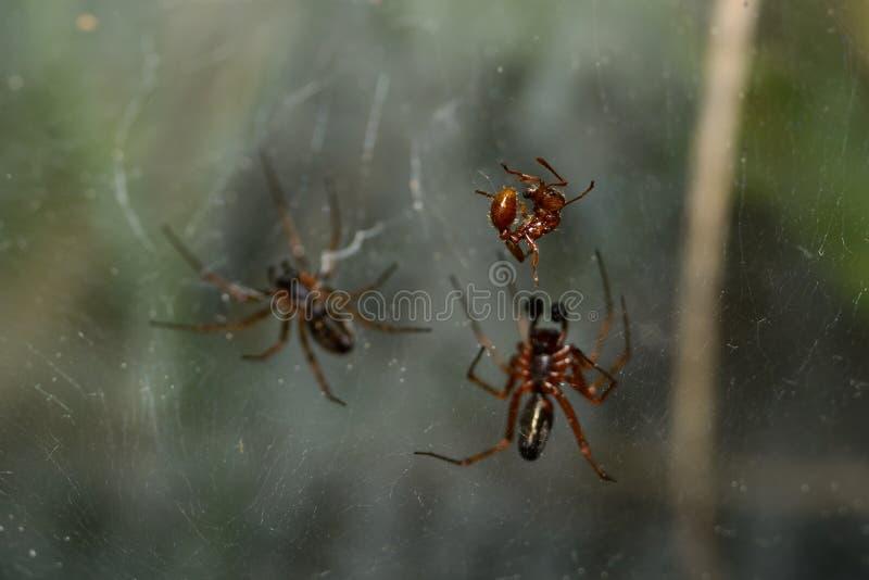 红色蚂蚁击中了spiderweb 免版税图库摄影