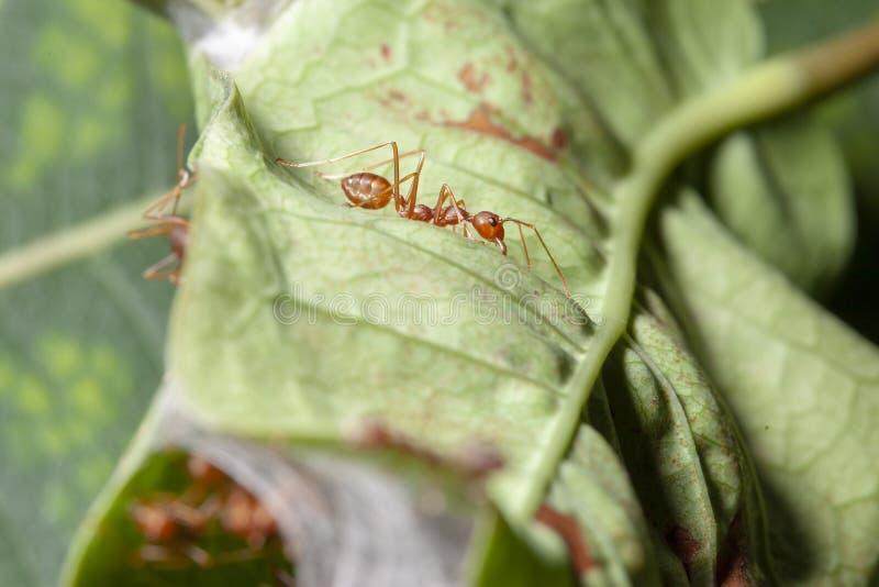 红色蚂蚁卫兵的关闭在绿色叶子的红色蚂蚁巢的 库存图片