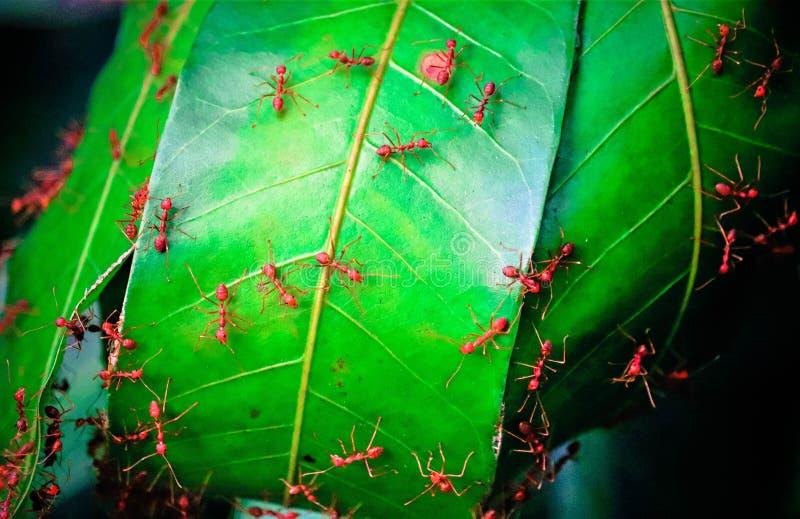 红色蚂蚁和绿色feaves 库存照片